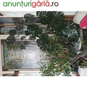 Imagine anunţ Plante ghiveci interior