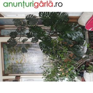 Imagine anunţ Plante ghiveci interior