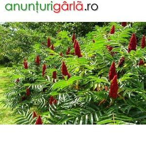 Imagine anunţ Otetar rosu (rhus typhina)sumac -arbore ornamental-10+5 gratis