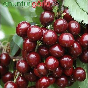 Imagine anunţ Pomi fructiferi meri, ciresi, visini, caisi, piersici 10+5 gratis anul2 altoiti