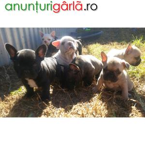 Imagine anunţ Pui de bulldog franceze cadou adopție gratis