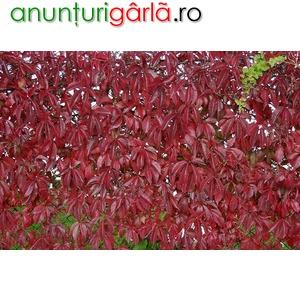 Imagine anunţ vita de canada decorativa gard viu-10+5 gratis-1,50 cm