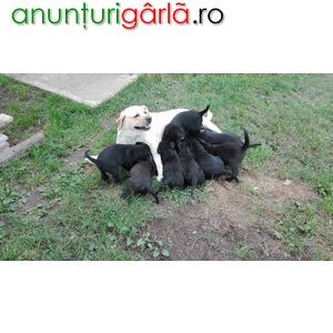 Imagine anunţ vand catei labrador varsta 2 luni