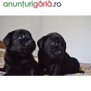 Imagine anunţ Vand labrador retriver cu pedigree (negru)