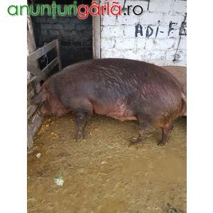 Imagine anunţ vand 7 porci duroc intre 80-150 kg si 3 porci mari