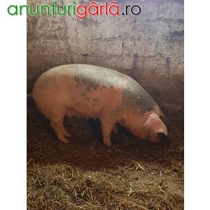 Imagine anunţ vand porci rasa de carne
