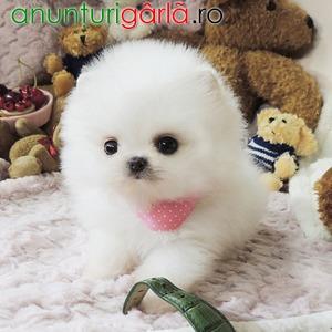 Imagine anunţ Pomeranian mini toy