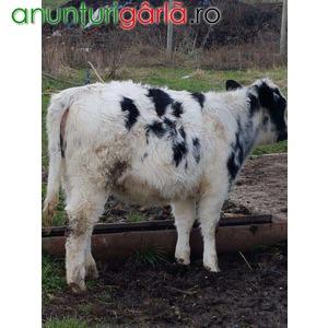 Imagine anunţ Vand vitei pentru carne in viu sau taiati.