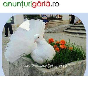Imagine anunţ Porumbei Nunta Constanta