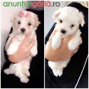 Imagine anunţ Micro Tiny Kc Malteză Puppys
