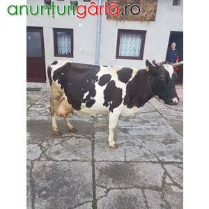 Imagine anunţ Vand vaca holstein ce urmeaza sa fete pe 1 martie,