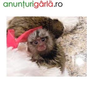 Imagine anunţ copii sănătoși de marmoset maimuță pentru adopția gratuită ( christinalamas8@gmail.com )