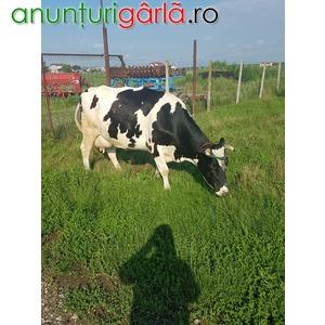 Imagine anunţ Vand vaca Holstein originala pe punctul de a fata.