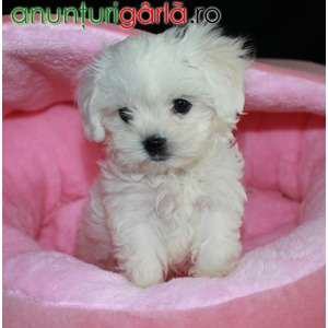 Imagine anunţ Bichon Maltez mini toy