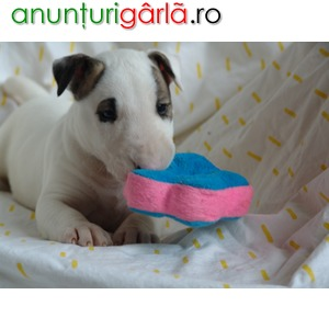 Imagine anunţ Vand catelusi bull terrier
