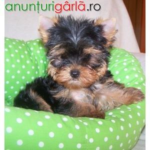 Imagine anunţ Vand catelusi yorkshire terrier