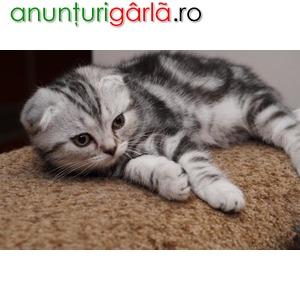 Imagine anunţ vand pisici scottish fold bucuresti iasi oradea cluj brasov