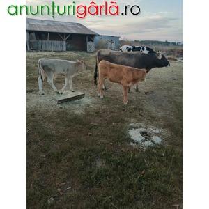 Imagine anunţ Vand vaca switz cu 2 vitei, o juninca holstein
