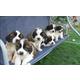 Imagine anunţ Vand pui de Saint Bernard
