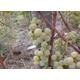 Imagine anunţ Vand struguri nova pentru vin