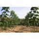 Imagine anunţ Vand butasi Paulownia pentru infiintare de plantatie.