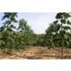Imagine anunţ Butasi lemnificati Paulownia Elongata
