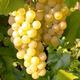 Imagine anunţ Struguri de vin calitate superioara